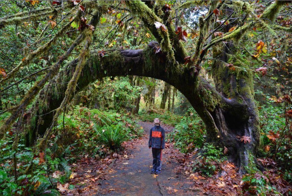 Standing in the middle of a trail, a boy stares up at a moss-covered tree in the Ho Rainforest on the Olympic Peninsula in Washington State