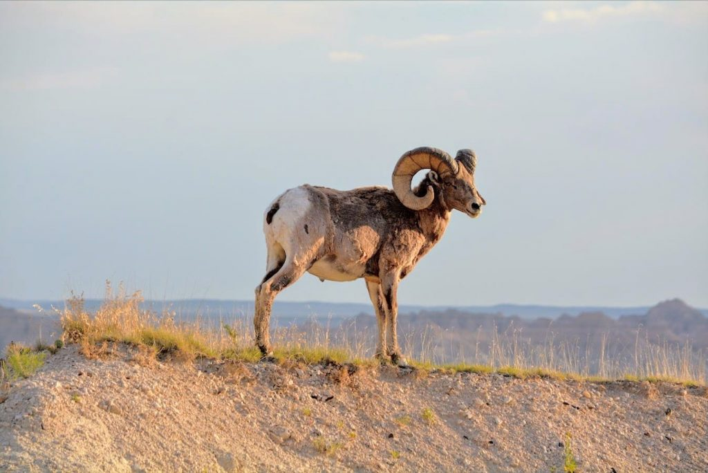 A solitary male bighorn sheep in Badlands National Park, South Dakota