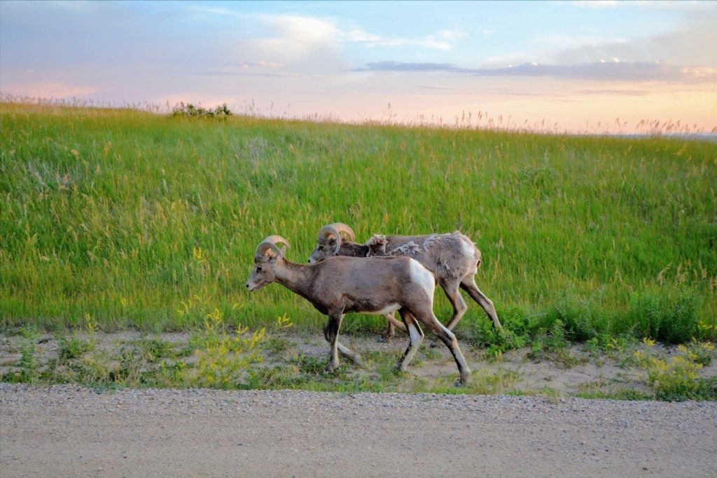 A pair of bighorn sheep in Badlands National Park, South Dakota