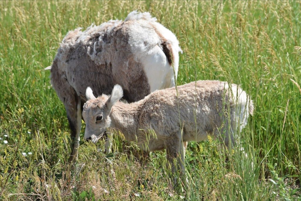 Momma and baby bigorn sheep in Badlands National Park, South Dakota