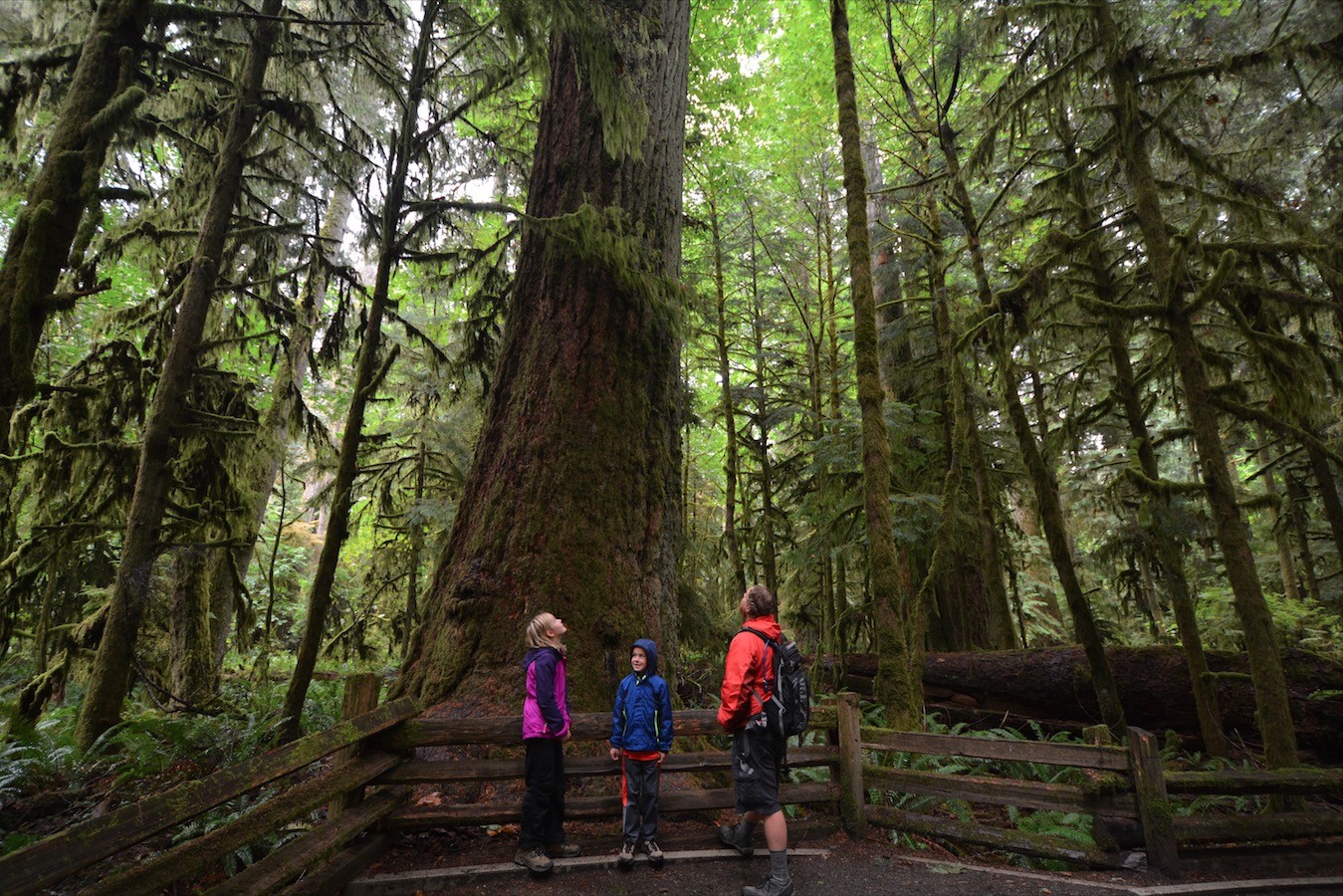 A family stares up at giant redwood trees in the rainforests of the Olympic Peninsula, Washington