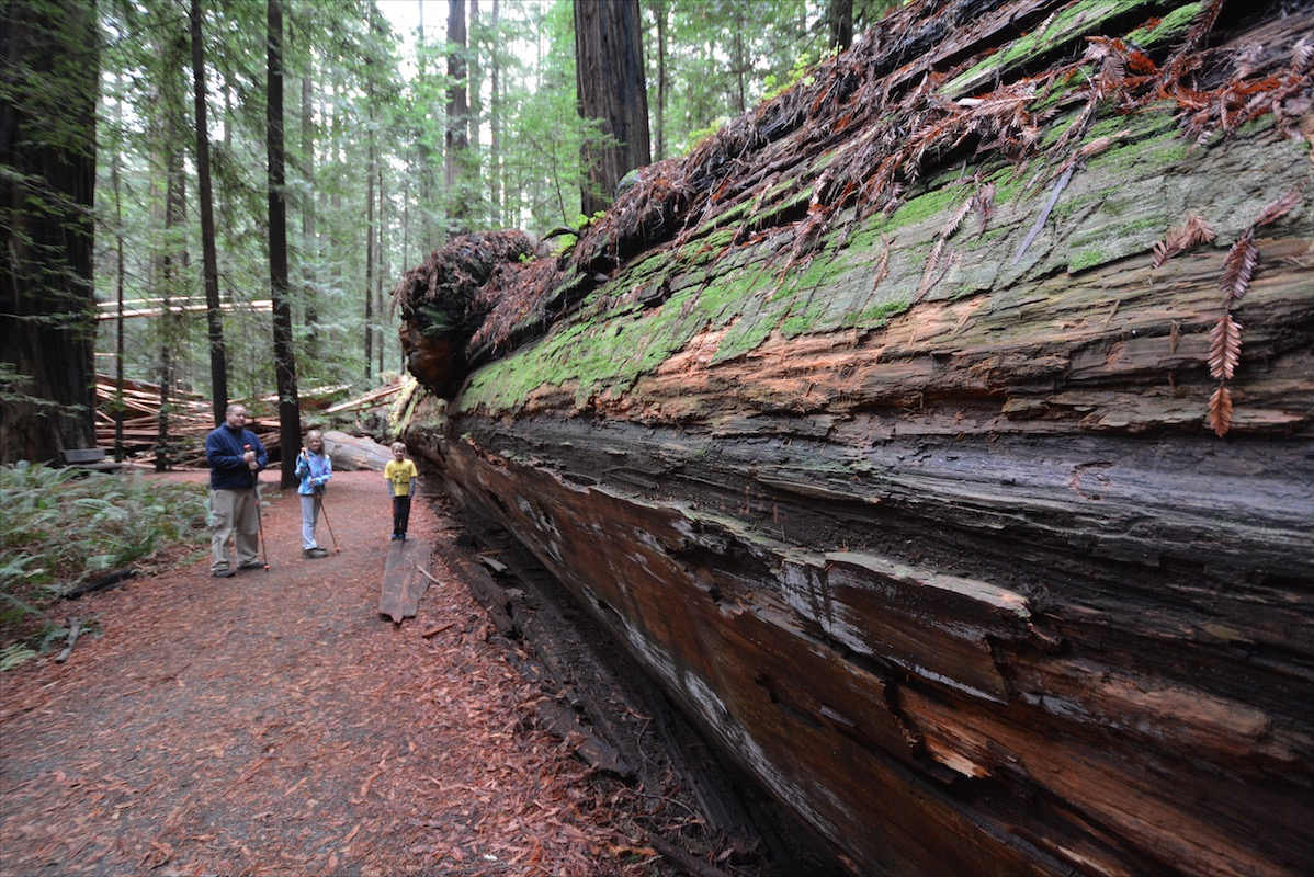 A massive redwood lying prone on the forest floor resembles a subway train in its scope