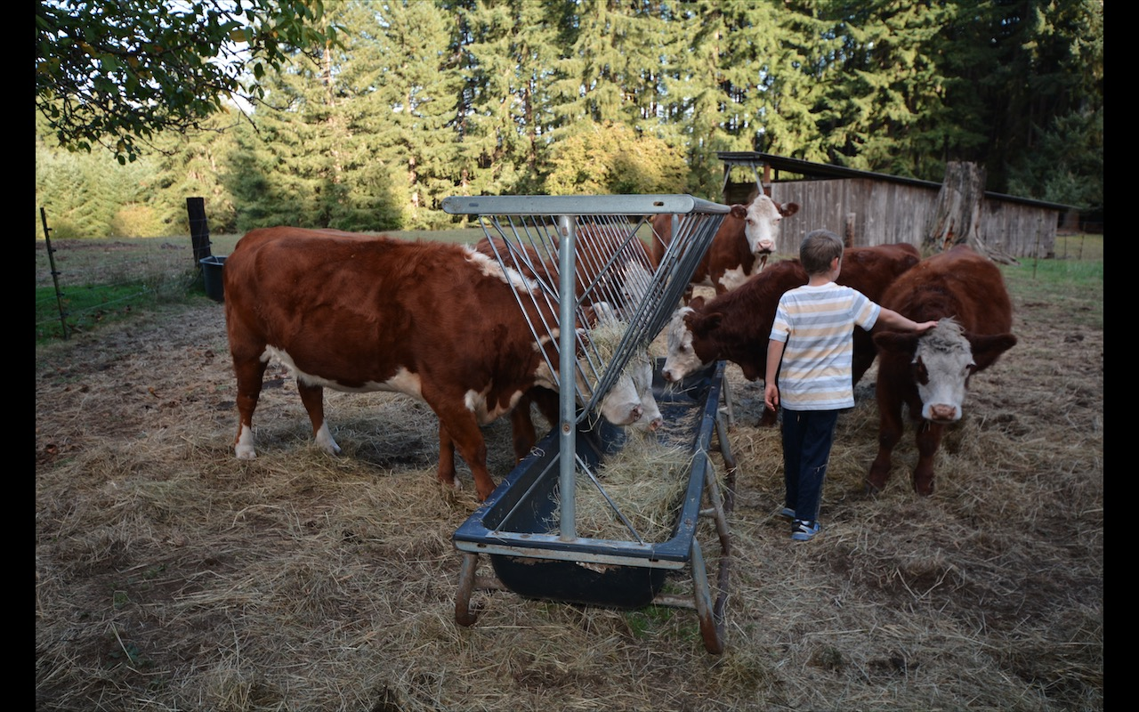 A young boy pets a beef cow on a private farm in Castle Rock, Washington, below Mount St. Helens