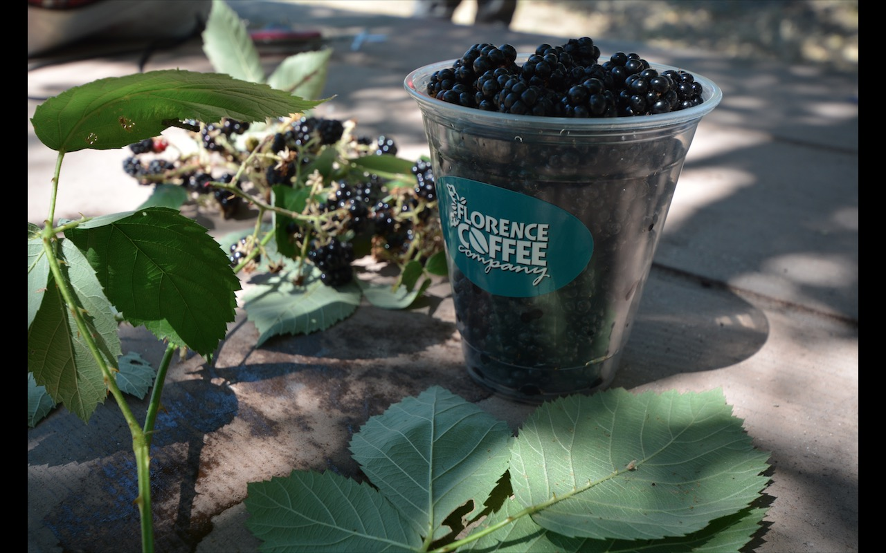 A cup of freshly picked, wild blackberries sits on a picnic table near Riggins Idaho.